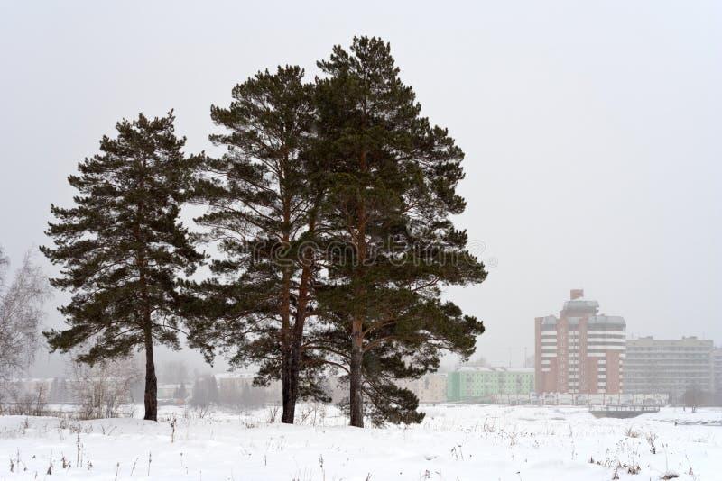 Bäume im Winter stockbild