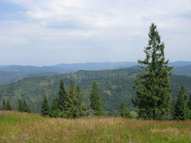 Bäume in Karpaten stockbilder