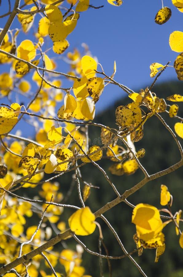 Bäume Kolorado-Aspen lizenzfreie stockfotografie