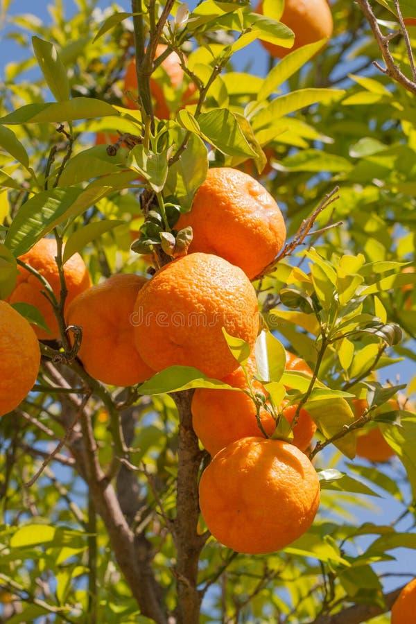 Bäume mit den Orangen typisch, Spanien lizenzfreies stockbild