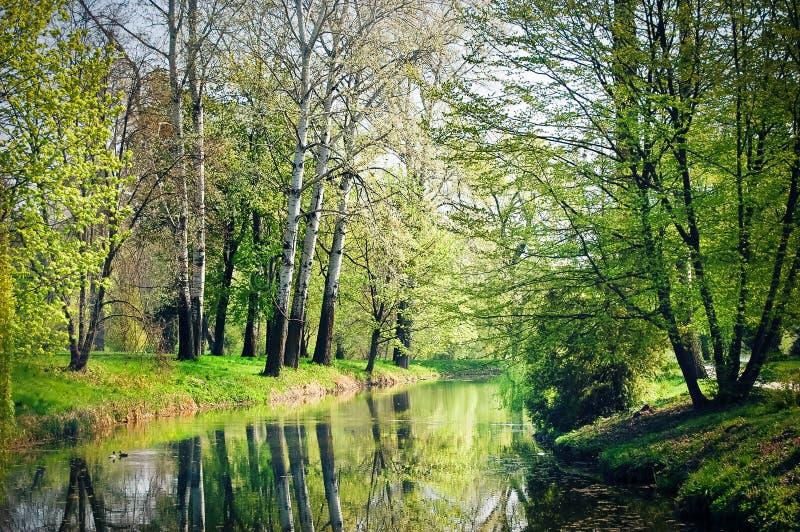 Bäume mit weißer Barke (Pappel) wachsen auf dem See lizenzfreies stockbild