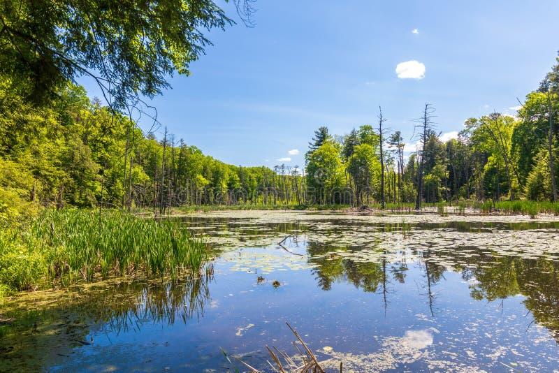 Bäume reflektierten sich in einem kleinen Teich mit einem Biberhäuschen stockfotos