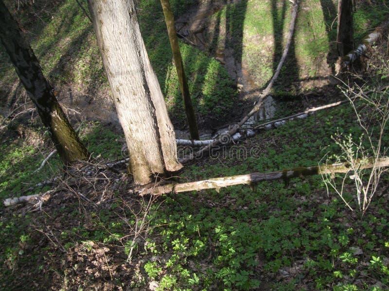 Bäume und Holz eines Stromes im Frühjahr stockfoto