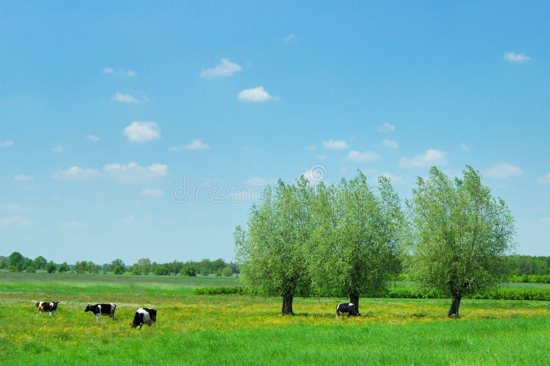 Bäume und Kühe stockfotos