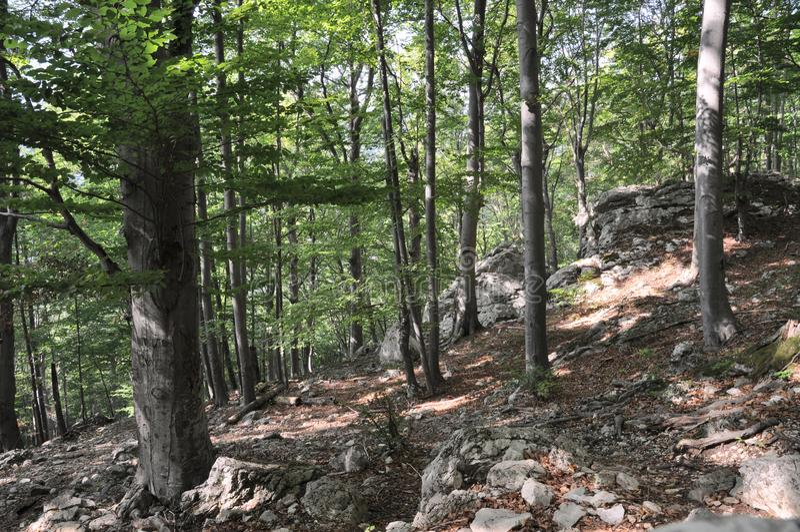 Bäume vom Gebirgswald stockbild