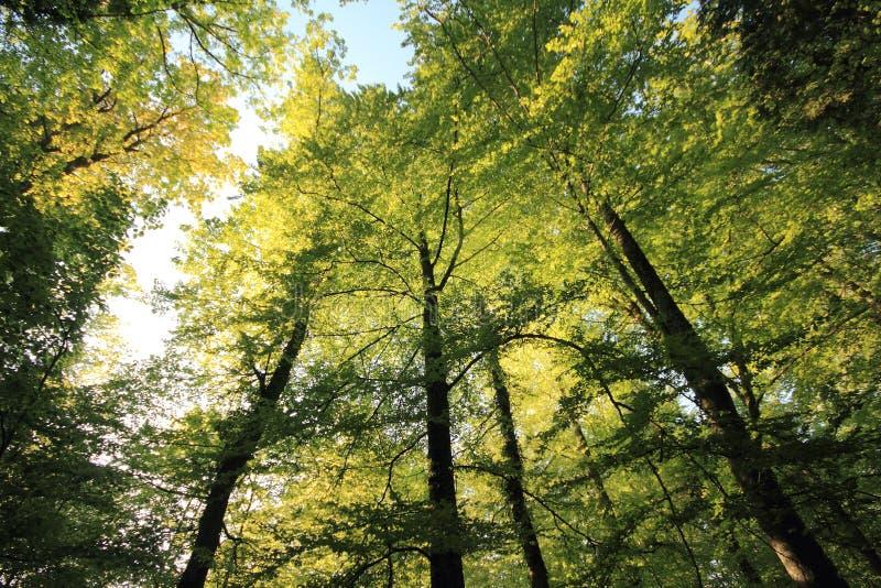 Bäume von einem niedrigen Winkel in der Schweiz stockbilder