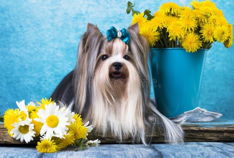Bäver Terrier royaltyfria bilder