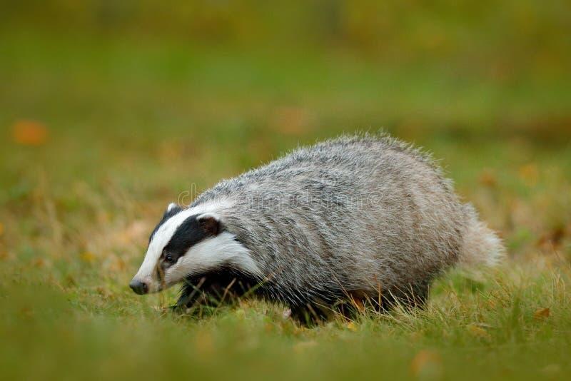 Bäverskinn i grönt gräs, livsmiljö för djur natur, Tyskland, Europa Djurlivplats Lös bäverskinn, Melesmeles, djur i trä europeisk arkivfoto