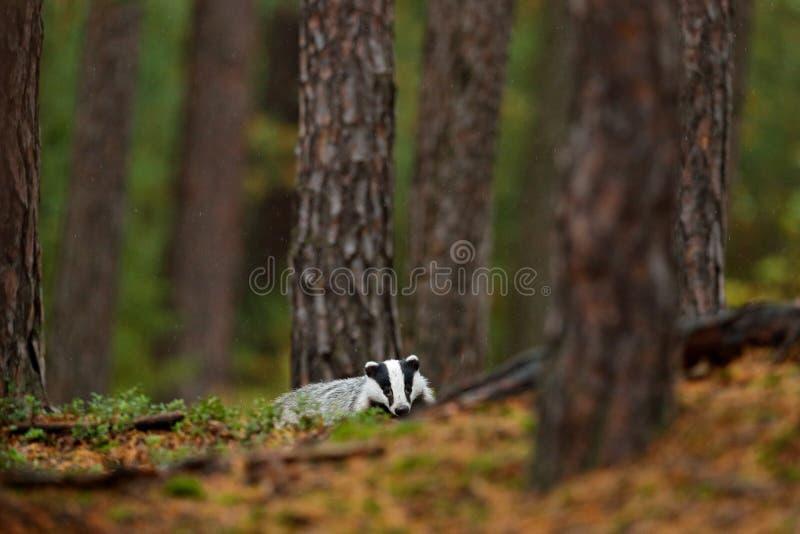 Bäverskinn i skogen, livsmiljö för djur natur, Tyskland, Europa Djurlivplats Lös bäverskinn, Melesmeles, djur i trä Europeiskt em arkivfoto