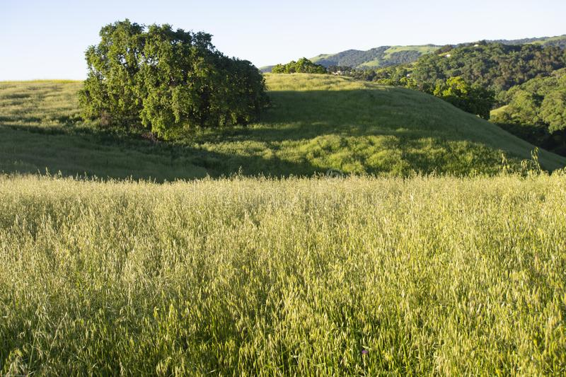 Błękitny dębowy drzewo stoi samotnie w Kalifornia zieleni, toczni wzgórza obrazy stock