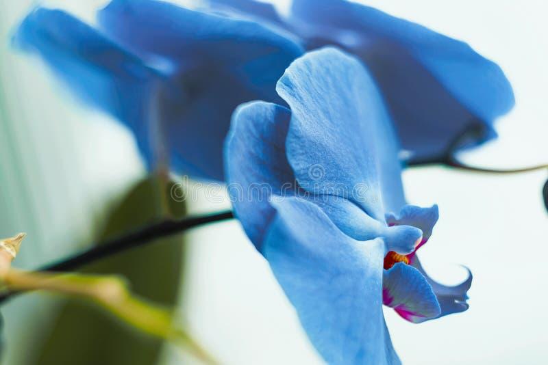 Błękitny fiołek na twój okno fotografia stock