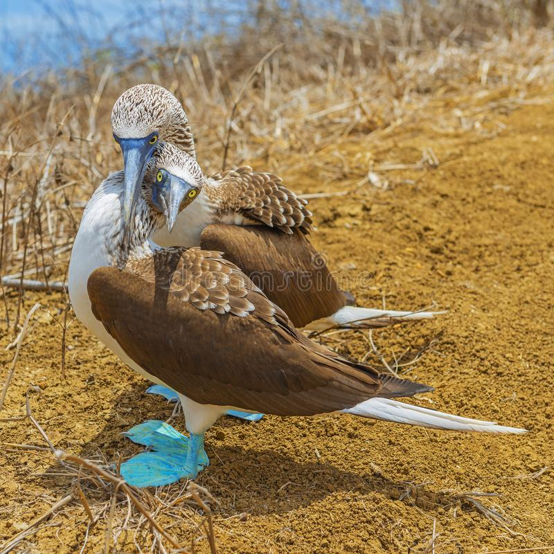 Błękitny Footed durnia uściśnięcie, Galapagos, Ekwador fotografia stock