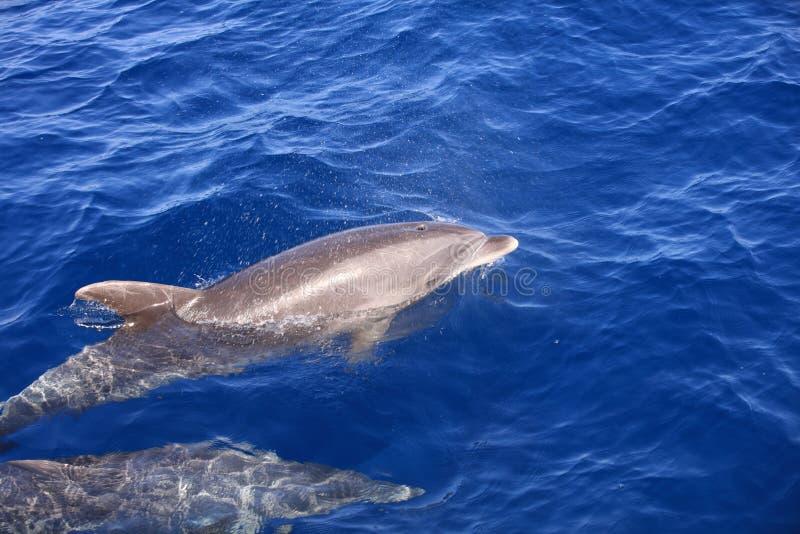 Błonie ostrożnie wprowadzać delfinu w Atlantyckim oceanie wyspa kanaryjska Tenerife Hiszpania obrazy stock