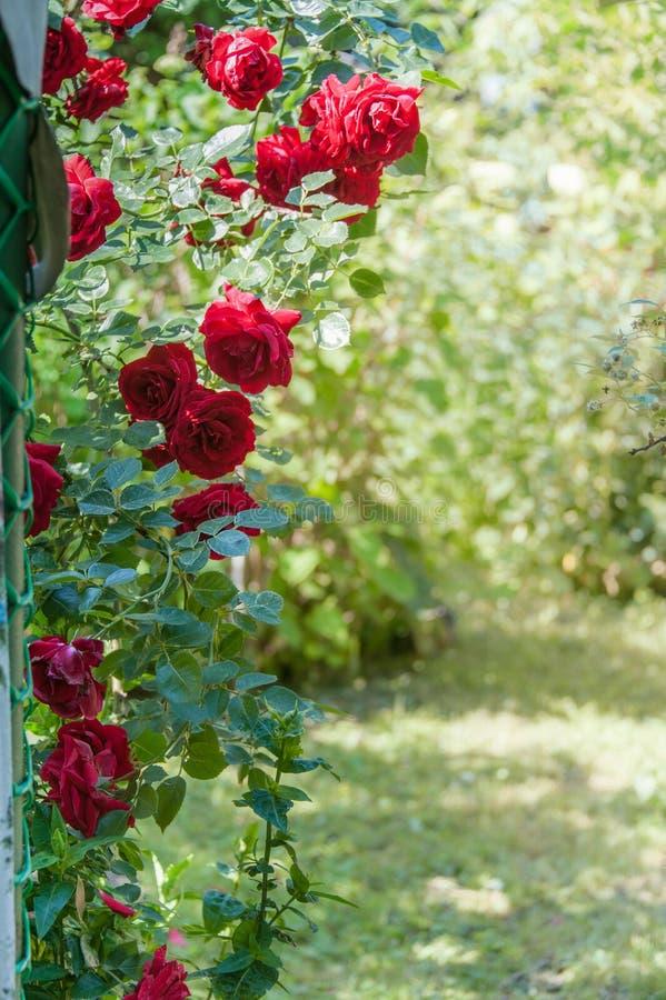 Bågen av den röda klättringen steg i sommarträdgård arkivbilder