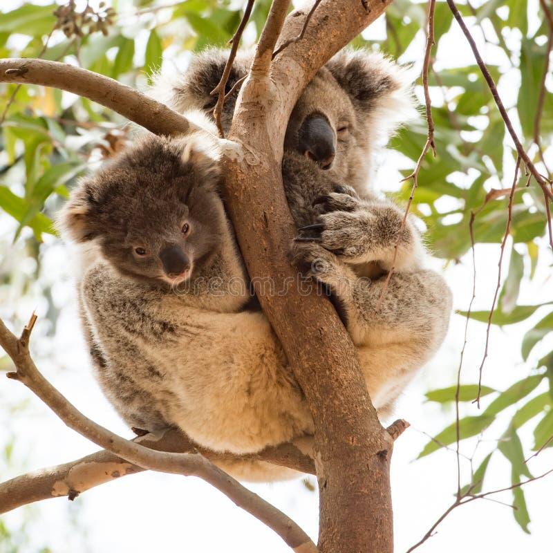 Bébé curieux de koala avec la maman somnolente, île de kangourou, Australie image libre de droits