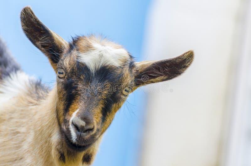 Bébé d'enfant de chèvre sauvage photographie stock libre de droits