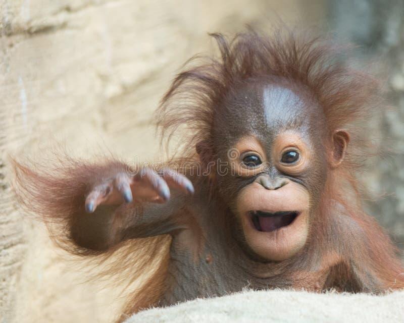 Bébé d'orang-outan - Yo, bro ! photos libres de droits