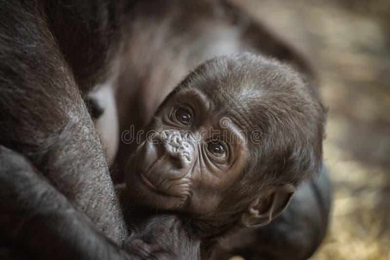 Bébé d'un gorille de plaine occidentale images libres de droits