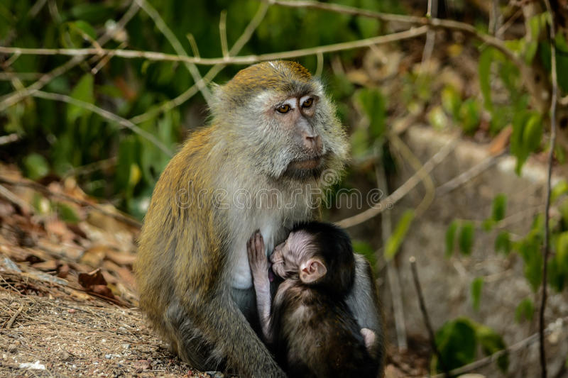 Bébé de Brestfeeding de singe photo stock