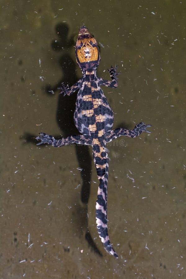 Bébé de crocodile image libre de droits