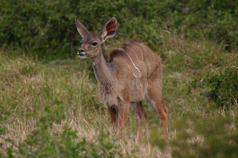Bébé de Kudu images stock