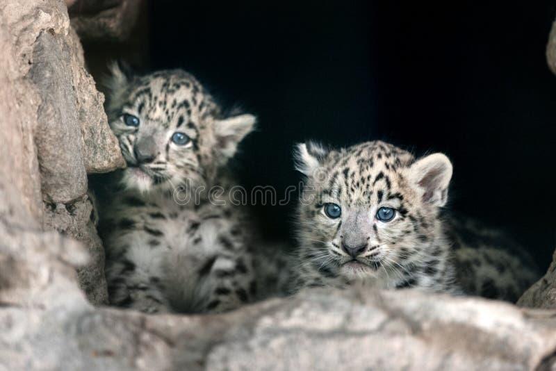 Bébé de léopard de neige photographie stock