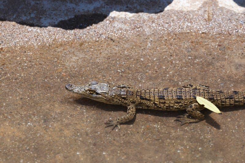 Bébé de Nile Crocodile images stock