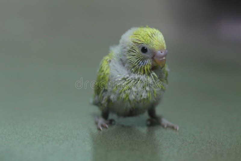 Bébé de perruche photo libre de droits