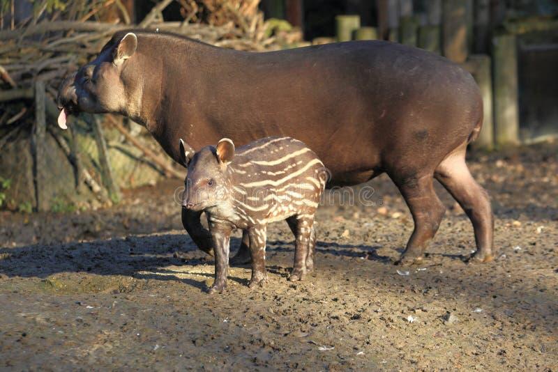 Bébé de tapir de plaine et son parent image libre de droits