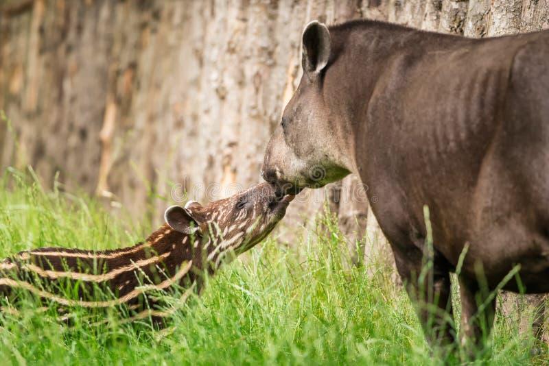 Bébé du tapir sud-américain mis en danger avec sa mère image libre de droits