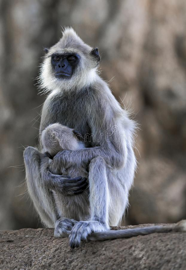 Bébé endormi en baisse de soins de langur de Semnopithecus de singe gris tufté de priam photo libre de droits