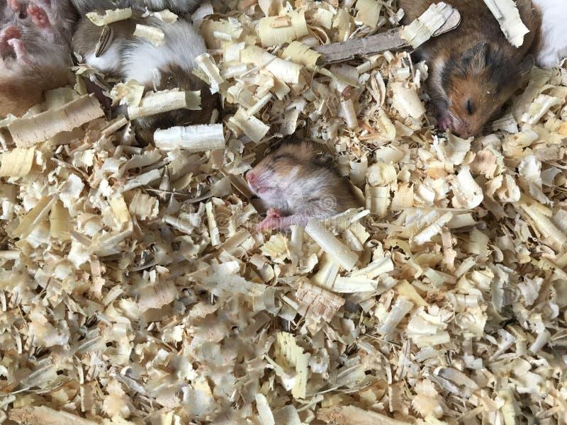 Bébé mignon brun et hamsters syriens ou d'or blancs dormant sur la literie de matériel de sciure Soin des animaux familiers, amou photo libre de droits