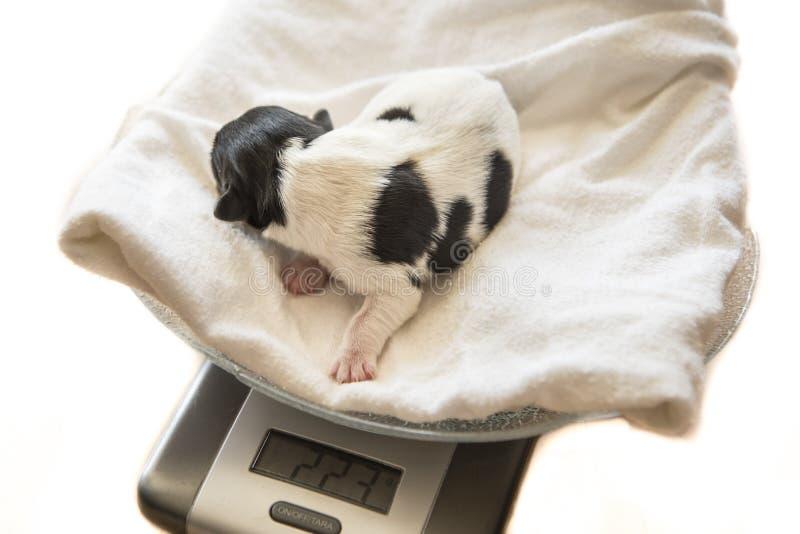 Bébé nouveau-né de chiens - surveillance du poids - une d'un jour - cric Russell photo libre de droits