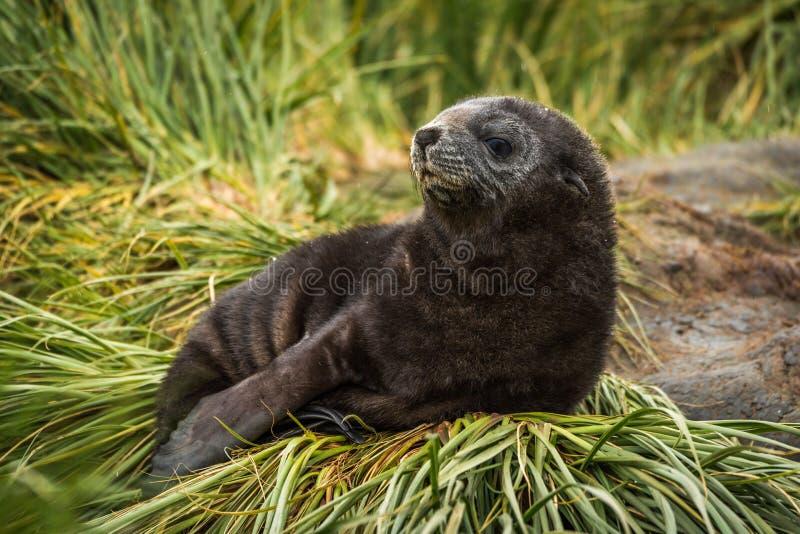 Bébé phoque antarctique de fourrure sur la touffe d'herbe image libre de droits