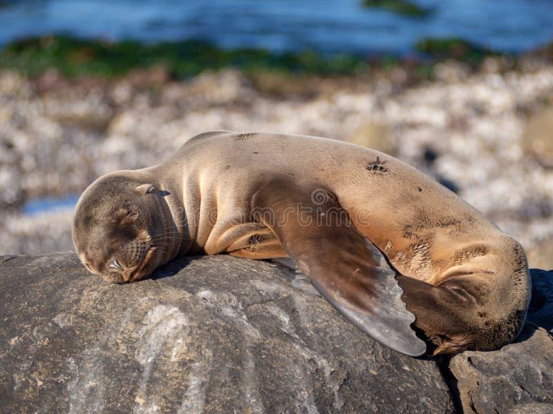 Bébé phoque dormant sur une pierre au soleil image stock