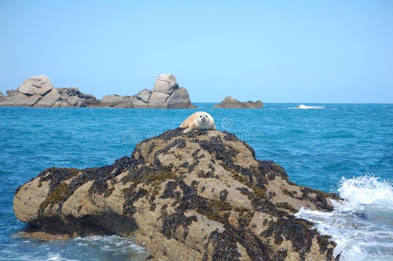 Bébé phoque gris sur la roche photos libres de droits
