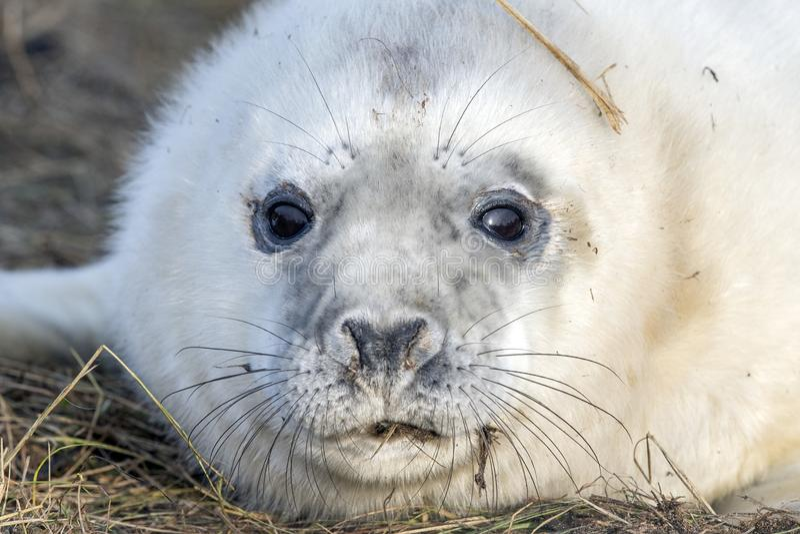 Bébé phoque gris tout en détendant sur la plage en Grande-Bretagne photos libres de droits