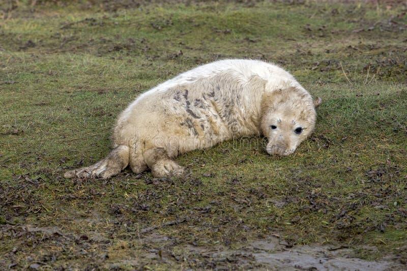 Bébé phoque gris tout en détendant sur la plage en Grande-Bretagne photo libre de droits
