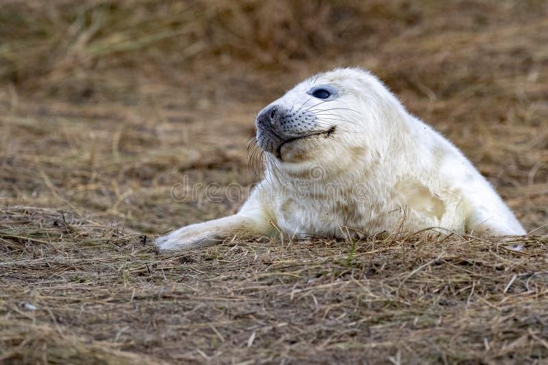 Bébé phoque gris tout en détendant sur la plage en Grande-Bretagne photographie stock libre de droits