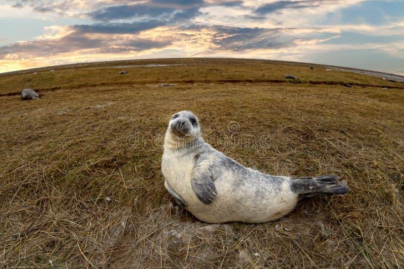 Bébé phoque gris tout en détendant sur la plage en Grande-Bretagne image stock