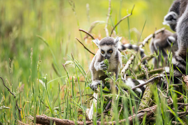 Bébé Ring Tailed Lemur photos stock