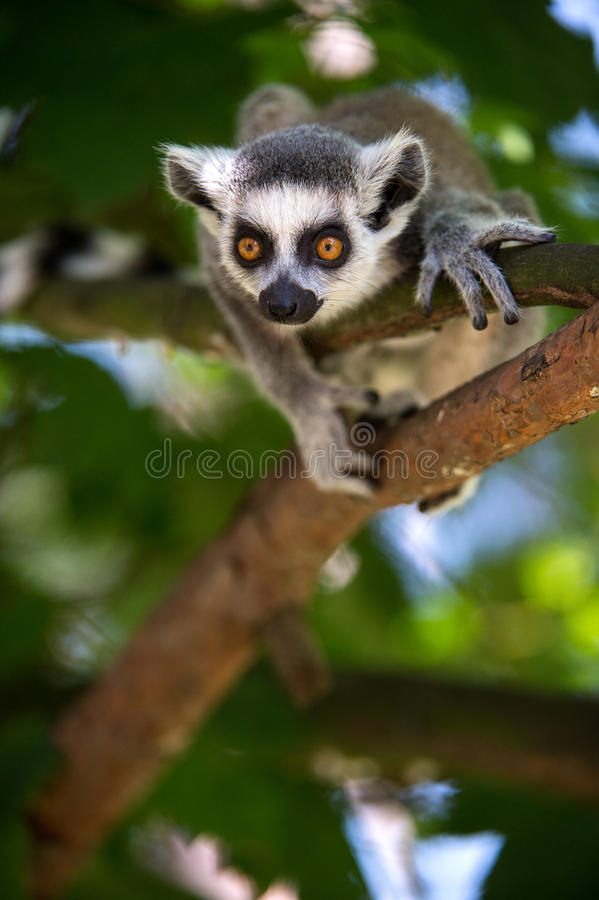 Bébé Ring Tailed Lemur photographie stock
