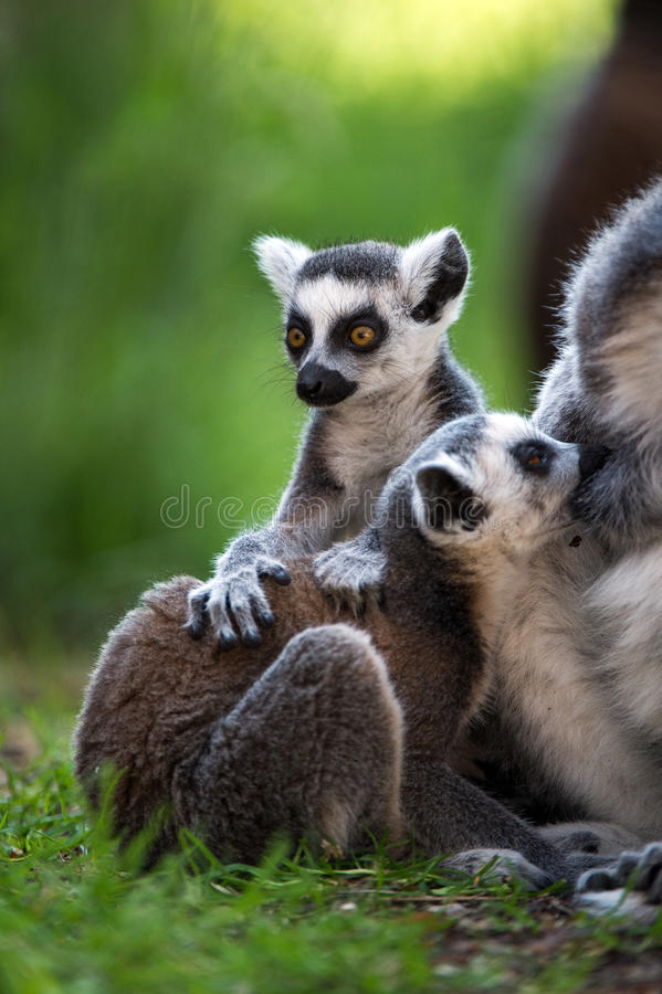 Bébé Ring Tailed Lemur photographie stock libre de droits