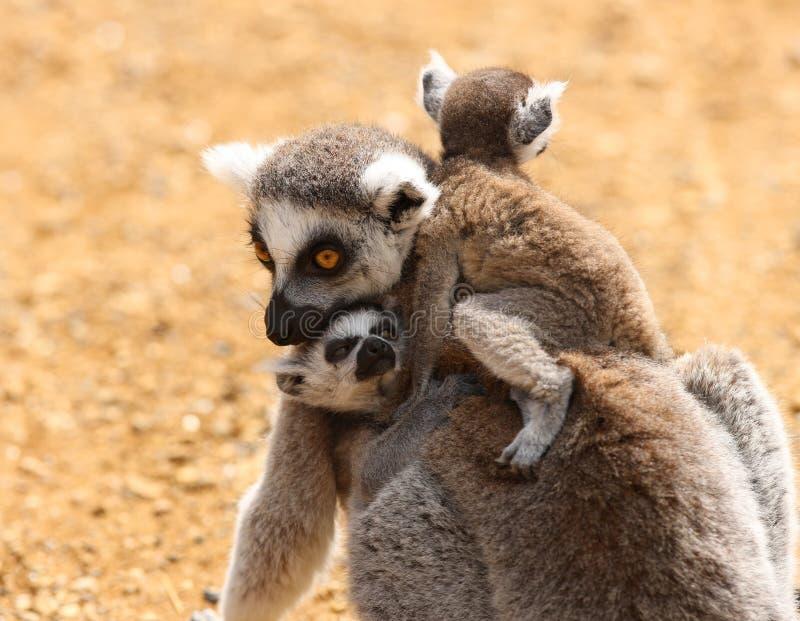 Bébé Ring Tailed Lemurs photos libres de droits