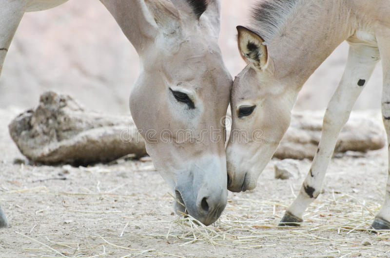 Bébé somalien et mère 2 de cul sauvage image stock