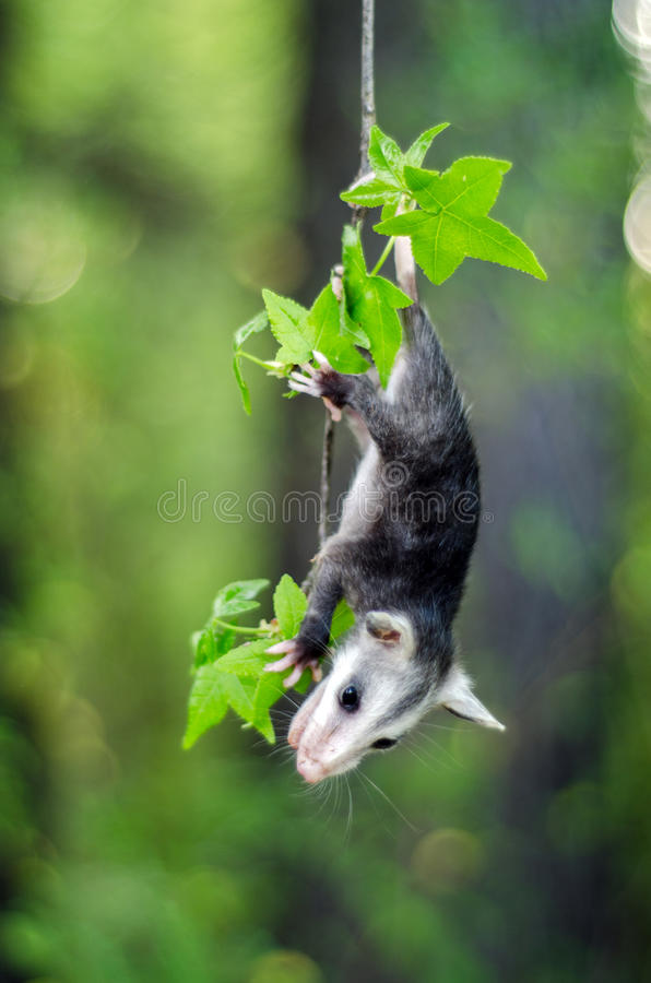 Bébé Virginia Opossum image libre de droits
