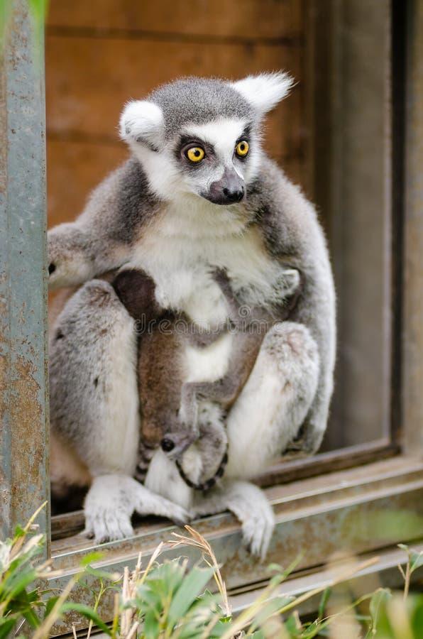 Bébés Anneau-coupés la queue de lémur photos libres de droits