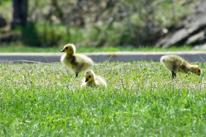 Bébés d'oie de Canada photo libre de droits