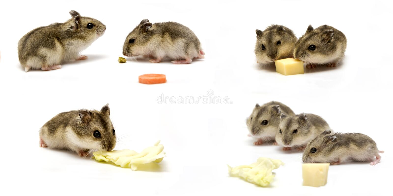 Bébés de hamster photo libre de droits