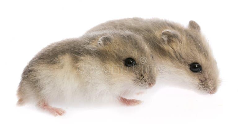 Bébés de hamster photographie stock libre de droits